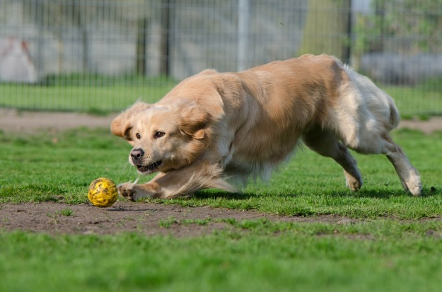 golden-retriever-750565_960_720