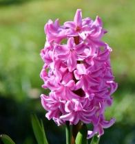 hyacinth-3284036_960_720.jpg