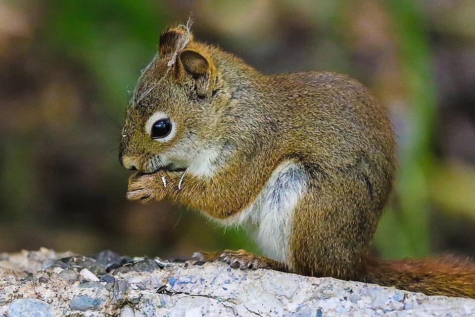 squirrel-3673843_960_720
