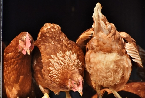 chicken-3662513_960_720.jpg