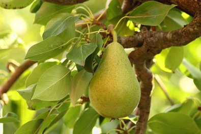 pear-3570890__340