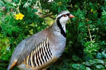 rock-partridge-50362__340
